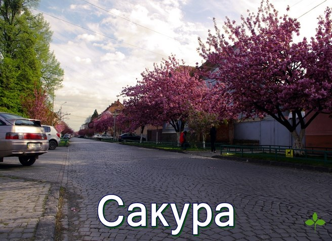 Сакура Мукачево